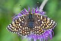 Heath fritillary {Melitaea athalia} Nordtirol, Austrian Alps, Austria, June.