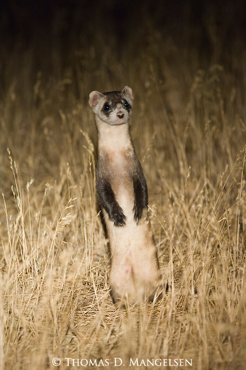 A black-footed ferret standing upright in Buffalo Gap National Grasslands, South Dakota.
