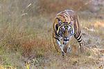 Female Bengal tiger (Panthera tigris tigris) walking through grassland. Bandhavgarh National Park, Madhya Pradesh, Central India.