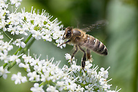 Honigbiene, Honig-Biene, Europäische Honigbiene, Westliche Honigbiene, Biene, Bienen, Apis mellifera, Apis mellifica, honey bee, hive bee, western honey bee, European honey bee, bee, bees, L'abeille européenne, l'avette, la mouche à miel, Blütenbesuch auf Giersch, Aegopodium podagraria