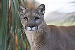 Mountain lion, CA. FB-S117