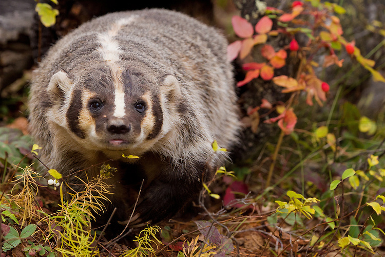 Badger walking along the ground - cA