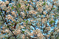 Stock photo: Gorgeous canopy of white cherry blossom tree in full bloom against beautiful blue sky, branches meshed up, flowers and leaves making textured background image.