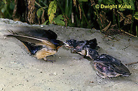 BA16-002z  Barn Swallow - adult feeding young on ground - Hirundo rustica