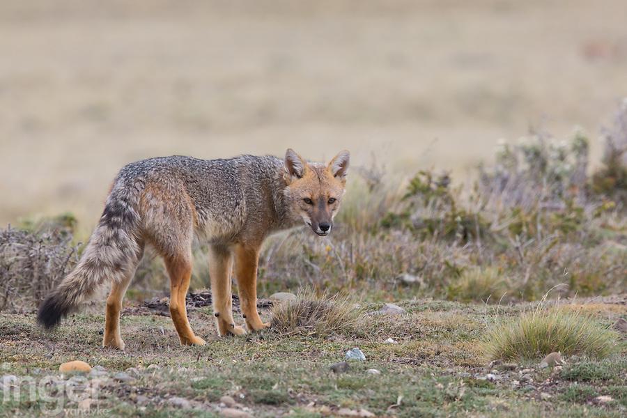 Argentine Red Fox eyeing us near Rio Gallegos, Argentina