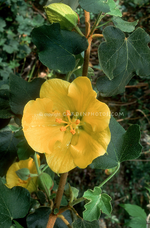 Fremontodendron californica 'California Glory' (AGM) yellow flower closeup, Flannel bush