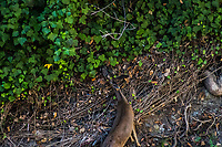 A black-tailed deer blends into its surroundings while  nibbling at greenery along San Lorenzo Creek near the Japanese Garden in Hayward, California.