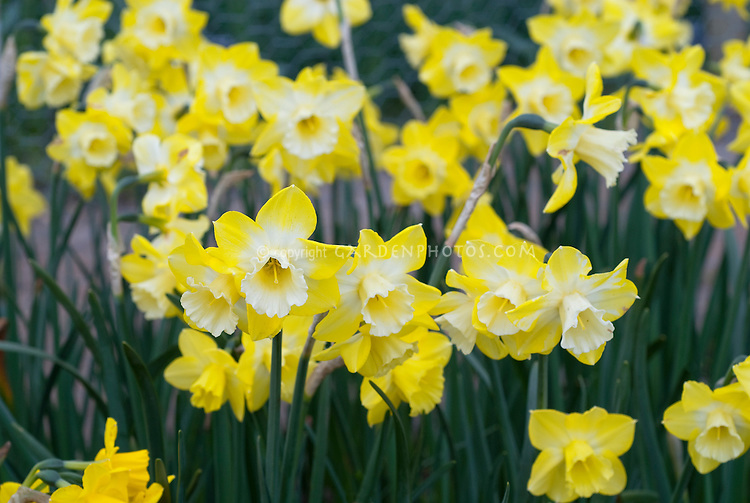 Narcissus Intrigue TN69 daffodils with white cup and yelow petals, showing lots of flowers in spring bulb bloom growing