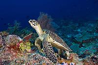 hawksbill sea turtle, Eretmochelys imbricata, Cendriwasih Bay, Indonesia, Pacific Ocean