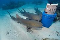 Nurse sharks, Ginglymostoma cirratum, attracted by scent released from chum bucket, Molasses Reef, Key Largo, Florida, USA, Atlantic Ocean