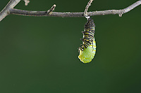 Monarch (Danaus plexippus), caterpillar pupating, series, Hill Country, Central Texas, USA