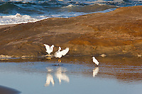 In a flurry of feathers and sharp, black bills and yellow feet, two Snowy egrets face-off and fight while a third watches in the lagoon at Pomponio State Beach on California's coast.  A compiliation of stills and video is at: http://youtu.be/VH91vl-eRw8