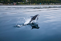 Pacific White-sided Dolphin ( Lagenorhynchus oblquidens ) porpoising off Alert Bay off northern Vancouver Island, British Columbia, Canada.