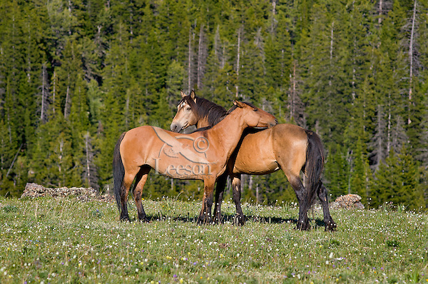 Mustangs or Wild Horses (Equus ferus caballus) standing in meadow carpeted with wildflowers.  Western U.S., summer.