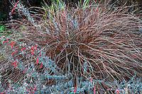 Orange New Zealand Sedge, Carex testacea in garden with California fuschia