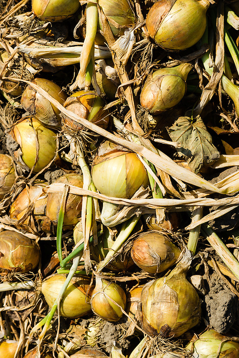 onions are harvested during the end of summer