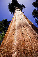 Close up of perfect sequoia tree towering towards a clear blue sky image, photography, stock photo, picture foto, reise, photograph, image, images, photo,<br />