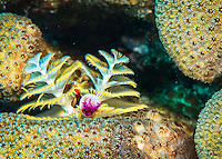 25 January 2016: A Christmas Tree Worm (Spirobranchus giganteus) grows on a coral patch at Captain Don's Habitat in Bonaire. Bonaire is known for its pioneering role in the preservation of the marine environment. A part of the Netherland Caribbean Islands, Bonaire is located off the coast of Venezuela and offers excellent scuba diving, snorkeling and windsurfing.  Mandatory Credit: Ed Wolfstein Photo *** RAW (NEF) Image File Available ***