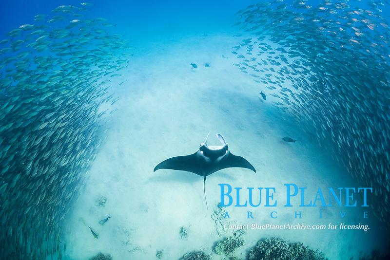 reef manta ray, Mobula alfredi, feeds inside school of akule or bigeye scad, Selar crumenopthalmus, Keauhou Bay, Kona, Hawaii (Big Island), Hawaiian Islands (Central Pacific Ocean)