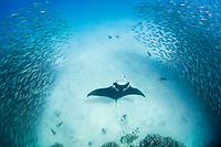 reef manta ray, Mobula alfredi, feeds inside school of akule or bigeye scad, Selar crumenopthalmus, Keauhou Bay, Kona, Hawaii ( Big Island ), Hawaiian Islands ( Central Pacific Ocean )
