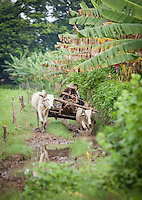 A farmer uses bullocks and cart to plough his flooded field, in the site of the ancient city Ava, in Myanmar