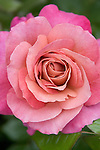 Le Purt Rose, Rosa hybrid by Jim Sproul