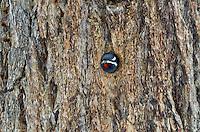 Male Williamson's Sapsucker (Sphyrapicus thyroideus) peering out of nest cavity.  Western U.S., June.