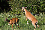 White-tailed doe chasing away another doe