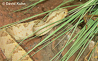 0511-1109  Neotropical Rattlesnake (South American Rattlesnake), Crotalus durissimus  © David Kuhn/Dwight Kuhn Photography