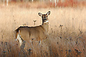 00275-196.16 White-tailed Deer (DIGITAL) doe pauses while feeding on goldenrod in prairie during fall.  Hunting, food, whitetail.  H4R1