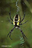 AR01-008b  Yellow and Black Garden Spider on web -  Argiope aurantia