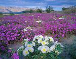 Anza-Borrego Desert State Park:  Dune evening primrose (Oenothera deltoides) and desert sand verbena (Abronia villosa) in Borrego Valley