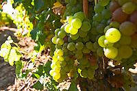 Bunches of ripe grapes. Sauvignon blanc. Domaine Henry Natter, Montigny, Sancerre, Loire, France