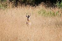 Male black-tailed deer, Odocoileus hemionus, Mendocino County, California.