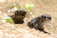Young tadpoles that have sprouted legs venire ashore as they mature into frogs in a Holly Hill, Florida fishpond, May 2014.(Photo by Brian Cleary/www.bcpix.com)