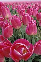 Field of pink tulips, Mount Vernon, Skagit Valley, Washington
