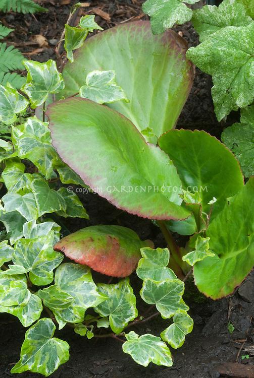 Bergenia and Hedera & Tiarella . Foamflower