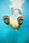 Swimming polar bear, North America. (captive)