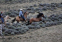 A wild stallion attempts to escape from cowboys roping him during a BLM gather in Divide Basin in Wyoming.  <br /> BLM gathered horses in Divide Basin off of Bar X Road.  They are trying to round up nearly 500 horses because of a lawsuit filed.<br /> Helicopters bring the horses to a jute fence with wings and a Judas horse lures them into the trap.  They are trucked off to a BLM facility 50 miles away to be processed.