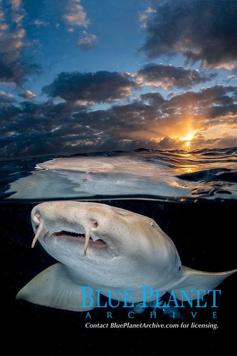 Nurse Shark, Ginglymostoma cirratum, Aka common nurse shark, Over under split shot at sunset near South Bimini Island, Bahamas, Caribbean Sea, Atlantic Ocean