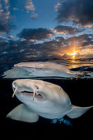 Nurse Shark, Ginglymostoma cirratum, Aka common nurse shark, Over under split shot at sunset near South Bimini Island, Bahamas, Caribbean Sea, Atlantic Ocean