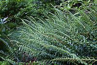 Polystichum acrostichoides (Christmas fern) native woodland fern in Margot Taylor garden