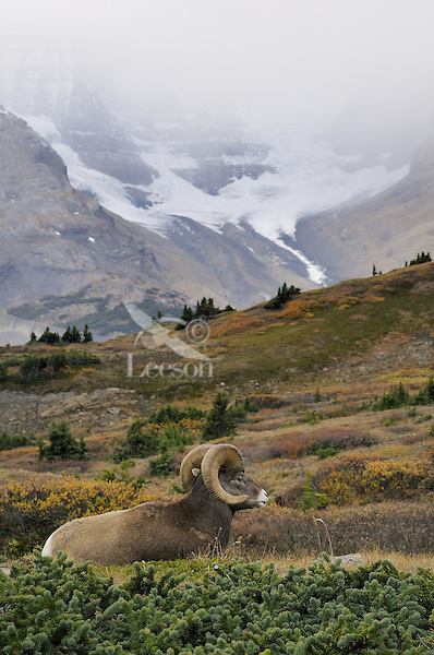 Bighorn Sheep Ram (Ovis canadensis) resting in subalpine meadow.  Northern Rockies.  Fall.