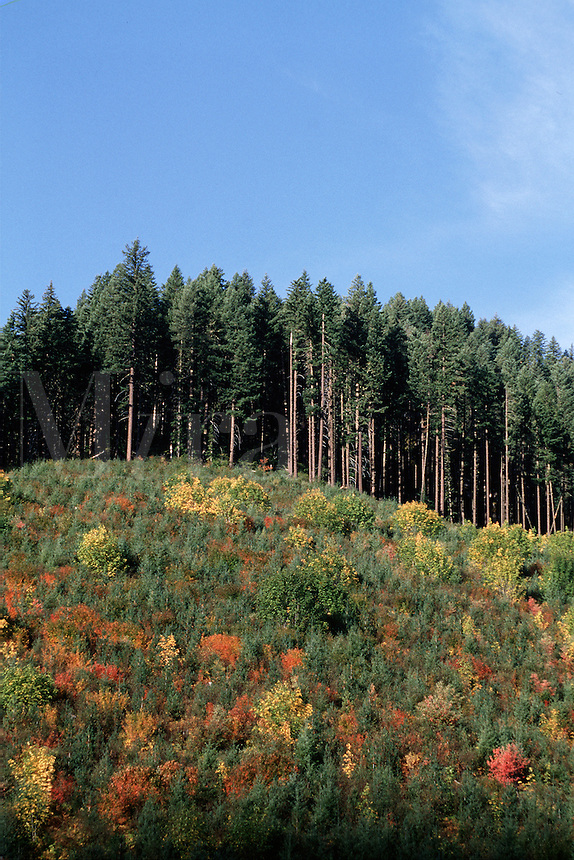 utumn landscape of a clear-cut hillside that was replanted with resilient Western Red cedar and White pine trees. Williamette National Forest, Oregon.