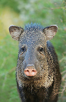 Collared Peccary, Javelina (Tayassu tajacu), adult, South Texas, USA