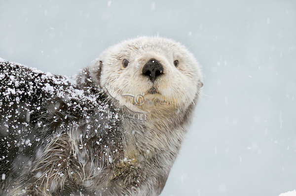 Alaskan or Northern Sea Otter (Enhydra lutris) during snowstorm.