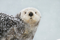Alaskan or Northern Sea Otter (Enhydra lutris) during snowstorm.