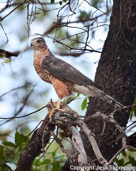 Cooper's Hawk, Southeastern Arizona