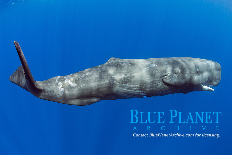 sperm whale, Physeter macrocephalus, juvenile female about 6-11 years old, with underwater photographer in background, Endangered Species, Commonwealth of Dominica (Caribbean Sea)