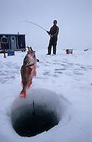 Amérique/Amérique du Nord/Canada/Quebec/Fjord du Saguenay : Pêche blanche - Le fils de René Bilodeau ferre une sébaste